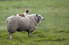 This sheep dog isn't really doing its job, but this photo posted to reddit is just so majestic that the duo look perfect together.    A small herding dog is shown resting on top of a baa-ing buddy as the two regally look off into the horizon.