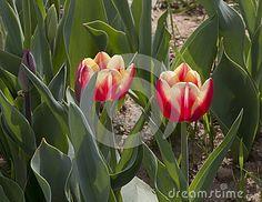 Tulipani italiani a cornaredo milano