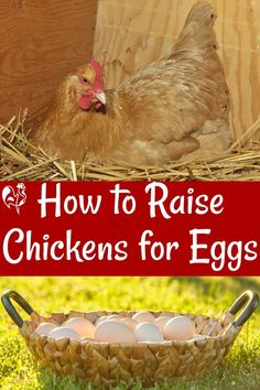 Caring for laying hens to make sure you get the most nutritious, delicious eggs! Chicken Garden, Backyard Chicken Coops, Chicken Feed, Chicken Laying Eggs, Chicken Toys, Chicken Life, Incubating Chicken Eggs, Chicken Egg Colors, Raising Backyard Chickens