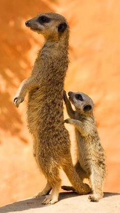 """Meerkats: """" Hey mom, can I try now ? I can be a look out just like you, l know l can, l know l can ! """" Kids always learn by example. They want naturally to grow up and be just like their mommies and daddies !!!"""