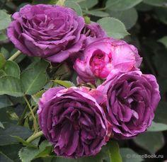 'Minerva' * - Vissers (2010). Trosroos. De meest 'blauw-paarse' roos op dit moment.Lang- en rijkbloeiend. Gevulde bloemen (6-8cm) uit roze-rode knoppen en met contrasterende goudgele meeldraden. Intense zoete rozengeur. Glanzend, donkergroen blad. Zeer ziekteresistent. Geen volle middagzon. Beter dan 'Rhapsody in Blue' of 'Mainzer Fastnacht'. 80cm x 60cm.