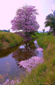 The Tabebuia Tree flowers in Southern Mexico in early spring. At full bloom, the… Wonderful Places, Beautiful Places, Beautiful Pictures, Colorful Trees, Flowering Trees, Nature Pictures, Amazing Nature, Beautiful Landscapes, Beautiful World