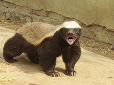 The World's Most Fearless Creature is the Honey Badger. This is the Hufflepuff mascot! Wow! | Todayifoundout.com