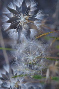 Three Wishes Dandelions - Stock Photo - Images Dandelion Art, Dandelion Wish, Fotografia Macro, Jolie Photo, Patterns In Nature, Pretty Pictures, Mother Nature, Flower Power, Photo Art