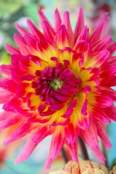 Tahitian Sunset Dahlia...beautiful!!! / ATTRACTS: Butterflies   Plant with Nicotiania which attracts Rose Breasted Grossbeak (The most beautiful birds in the United States).  Plant near driveways or entry way.  Perfect planted in public planting area.