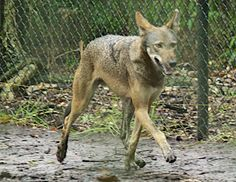 RETURN OF THE RED WOLF (Photo credit: Becky Harrison, USFWS Red Wolf Recovery Program)