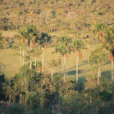 O Cerrado é uma savana tropical de vegetação herbácea. Abriga, aproximadamente, 420 espécies conhecidas de árvores e arbustos. Cuidar do Cerrado é muito importante, e por isso a Fundação Grupo Boticário trabalha tanto para a preservação desse bioma. Foto: Gustavo Gatti. #natureza #meioambiente #cerrado