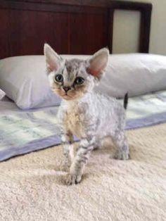 Available Devon Rex Kittens