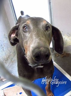 9/1 STILL THERE!! A4074886 My name is Samson. I am a friendly 8 yr old neutered male gray/brown Doberman Pinscher. (shelter says Lab). I came to the shelter on August 15 because my owner passed away. Available 8/30/15 (they give family members 15 days to claim the dog if they want him) Baldwin Park https://www.facebook.com/photo.php?fbid=1018250138186823&set=a.705235432821630&type=3&theater