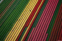 Para desfrutar desta paisagem tem de dar um salto a Keukenhof. Situada perto de Lisse, na Holanda, este é o maior jardim de flores - túlipas- do mundo.