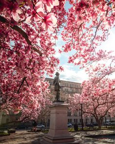 One of the most stunning places to see magnolia flowers in DC is Rawlins Park. In addition to the Smithsonian… Magnolia Trees, Magnolia Flower, Spring Starts, Washington Dc, Places To See, Fountain, Statue, Park, Flowers