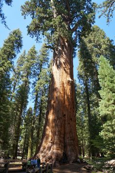 General Sherman Tree. Sequoia National Park, California.