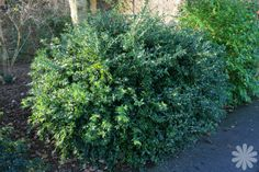 Sarcococca confusa (Sweet box)- Up to 2m. Confusa is the largest sarcococca. SE corner