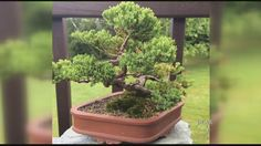 Bonsai owner appeals for return of stolen tree - WCAX.COM Local Vermont News, Weather and Sports-