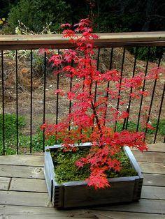 ACER palmatum Beni maiko at Essence of the tree Japenese Maple, Japanese Maple Garden, Acer Palmatum, Garden Ideas, Landscaping, Gardening, Seasons, Flowers, Plants