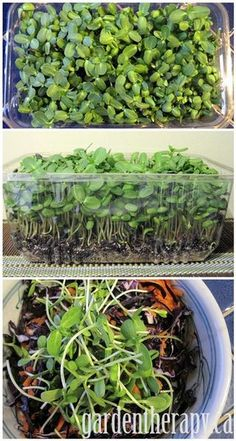 Growing Sunflower Micro Greens in a Plastic Salad Box