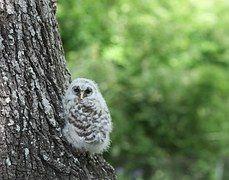 Eule, Owlette, Vogel, Tierwelt, Natur