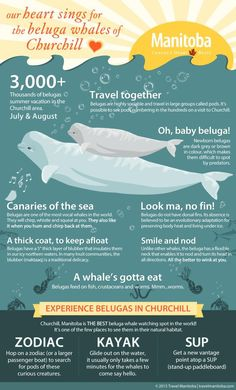 We'll admit it: we have a huge crush on these smiling sea mammals up in Hudson Bay.  Each summer, 57000 of these amazing animals make their way to the Hudson Bay to feed and birth, more than 3000 of which enter the Churchill River Estuary. Learn more about these friendly whales with our handy infographic! | Beluga Whale Fun Facts | Churchill, Manitoba | Manitoba Wildlife