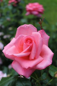 'Piroschka'   HT rose. Bred by Mathias Tantau, Jr. (1912 - 2006) (Germany, 1972)   Flickr - © Lilja Sirpale