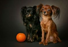 Russian Toy Terrier (long-haired) Like a Miniature Papillon!!! <3