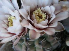 Sarah moon cactus