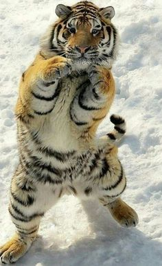 Ever wonder why the theme song to Rocky III was eye of the tiger?