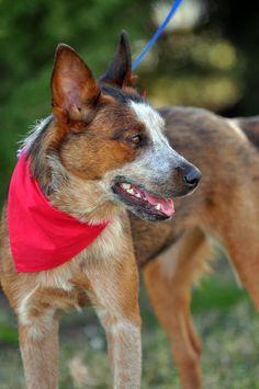 Beautiful Red Heeler Australian Cattle Dog Red, Aussie Cattle Dog, Austrailian Cattle Dog, Aussie Dogs, Cattle Dogs, Baby Dogs, Doggies, Dogs And Puppies, Blue Heelers
