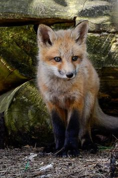 Red Fox Cub by Patrick Robert - National Geographic Your Shot