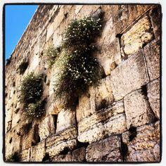Palestina - Capperi sul muro