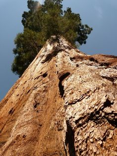 By volume, the Sequoia trees are the largest living things on Earth. They can grow as tall as 275 feet and 26 feet in diameter. #historicalfacts #largestree #history