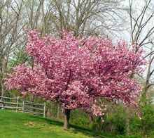 Kwanzan Cherry Tree...one of these beauties will finally be in my front yard in November! Looking forward to its first bloom this spring! Another check off the bucket list:)