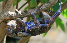 Blue is the most common color for coconut crabs, although they can also be found in more orangey or reddish shades. The coconut crab is actually not a proper crab at all, but rather a type of hermit crab. Sand Fleas, Weird Sea Creatures, Coconut Crab, Crab Stuffed Shrimp, Celebrity Travel, Best Places To Live, Zoology, Animal Tattoos, Animal Design