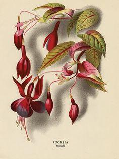 Fuchsia, lithograph, 1940s