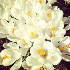 Hurjan nopeat krookukset. Kiitos #aurinko ja #lämpö #konttorirotat #työhuone #järvenpää #krookus #kevät #spring #green #flowers