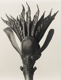 Indoor Gardening Quick, Clean Up, And Pesticide Free - Make Your Own Karl Blossfeldt Urformen Der Kunst Dop Karl Blossfeldt, History Of Photography, Fine Art Photography, Nature Photography, White Photography, Botanical Art, Botanical Illustration, Flora Flowers, Socialist Realism