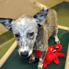 """Ria is an awesome heeler mix, who, at 4 months, is showing signs of being incredibly intelligent, curious and super-loving. She has all the traits of being that kind of dog that will form an intense bond with her """"human."""" She is at the Santa Fe Animal Shelter & Humane Society. http://www.facebook.com/pages/CHACO-Dog-Training-Behavior-Consulting-LLC/106862209336142"""