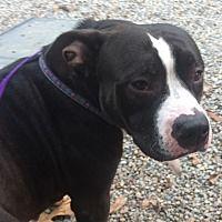 Oak Ridge, New Jersey - Pit Bull Terrier. Meet Evie-URGENT!, a for adoption. https://www.adoptapet.com/pet/19901194-oak-ridge-new-jersey-pit-bull-terrier-mix