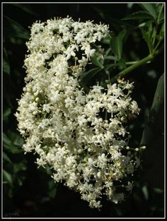 Benefits of Elderberry Extract...after my friend Jamie was telling me about the wonders of this I went today and bought some. Gonna try it!