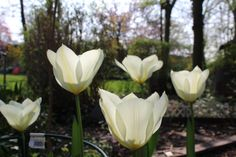 White tulips in the garden, spring 2014.