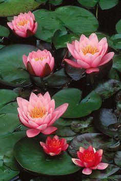 """""""Si no tienes flores en tu jardín confirma que aún no ha llegado tu primavera""""  Facuno Cabral  (Water Lily Detail)"""