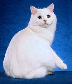 Cymric cat picture Rare Cats, Cats And Kittens, Kitty Cats, Pet Dogs, Dog Cat, Pets, Domestic Cat Breeds, Cymric, Cat Aesthetic