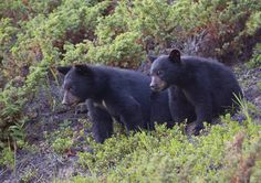 Black bears in the Smokies
