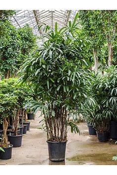 Palm Rhapis excelsa (Stokpalm)