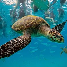 Hawksbill Sea Turtle | Like other marine turtles, hawksbills are threatened by the loss of nesting and feeding habitats, excessive egg collection, fishery-related mortality, pollution and coastal development.