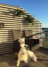 Et vakkert par Samojedhunder til salgs!