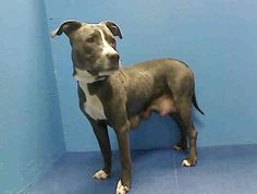 TO BE DESTROYED 6/12/13 BACC LISA A0967623 Female gray/white pit mix 1YR 6 MOS Lisa, bred and dumped like trash The ACC see Lisa as disposable, and tomorrow morning  they plan to end her life.PLS work really hard to make sure Lisa gets a new home and knows love Save her now