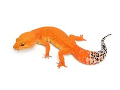 Tangerine Tornado | Leopard Geckos