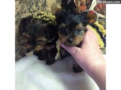 Cute and adorable male and female Yorkie puppies for new homes now..