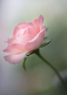 Perfect Pink Rose ...By Artist Unknown... @;}~