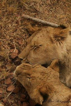 Male Lion, Lion Cub, Brotherly Love, Big Cats, Cubs, Lions, South Africa, Wildlife, Animals